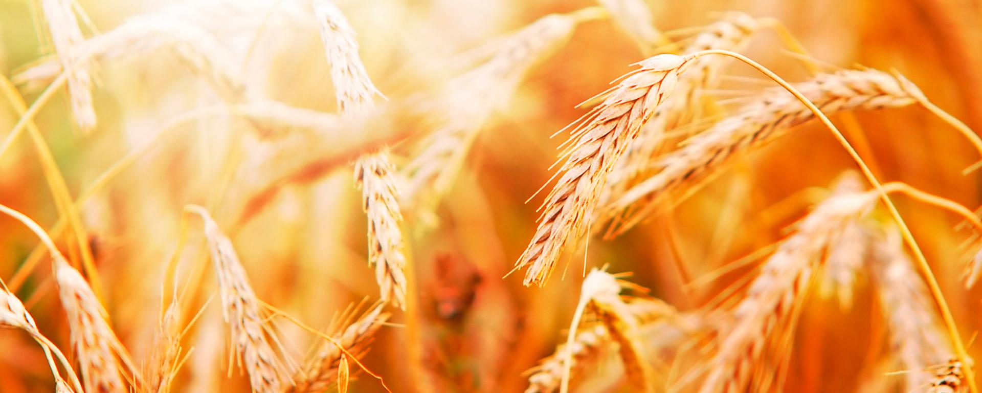 Conhecendo o trigo e a moagem – controle e garantia da qualidade
